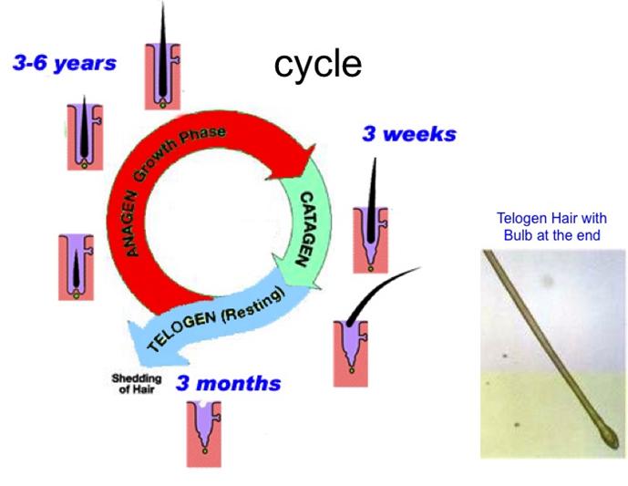 Rate Of Hair Growth Hair Development Guide Top Hair